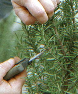 Rosemary propagation.  Rooting is easy and starting small topiairies that will grow into large ones is best done with cuttings.