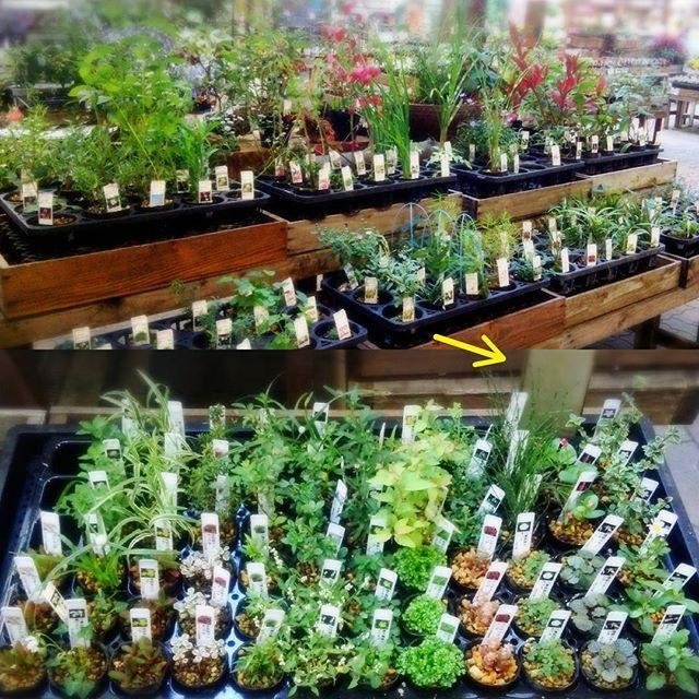 【enyaflowers】さんのInstagramをピンしています。 《おはようございます園舎です♪ ・ 山野草がとても素敵です♪特に下の段の小さい子達(^^) →がスマホなのでかなり小さいのを解って頂けますかね? ・ それなのに沢山種類があってお花咲いてる子も!! ・ たまらないです^^; ・ #園舎 #観葉植物 #園芸 #グリーン #多肉植物 #エアープランツ #大小 #置物 #水耕栽培 #雑貨 #苔玉 #ハイドロ #季節の花 #切り花 #苗 #鉢植え #シルクフラワー #プリザーブドフラワー #アーティシャルフラワー#花屋 #神戸 #晴れ #お出掛け #神戸市 #コープリビング #甲南店 #食虫植物 #ドライフラワー #テラリウム #初秋》