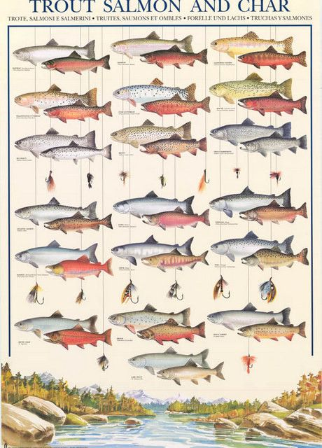 Trout Salmon Char Fly Fishing Fish Types Animal Poster 27x38