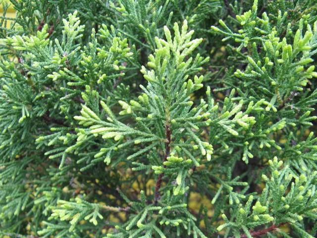 12月25日の誕生日の木は、最近クリスマスツリーとしても利用されている観葉植物「ゴールドクレスト(Gold Crest)」です。 ヒノキ科イトスギ(クプレッサス)属の常緑針葉樹です。原産地は北アメリカ。カリフォルニア州からメキシコにかけて分布する「モントレーサイプレス(Monterey cypress:イトスギ)」の園芸品種です。学名はCupressusmacrocarpacv.Goldcrest。英名は Monterey cypress Goldcrest。最もポピュラーなコニファーです。 〔コニファー(英:conifer)とは、本来は針葉樹の総称。日本では、主に外来種を中心とした園芸用の針葉樹の総称として使われます。〕 鉢植え等で楽しまれることの多いゴールドクレストですが、生育環境の揃ったところで路地植えされると、樹高は10m~20mにもなります。樹形は狭円錐形。枝は斜上して密生し、鱗葉が密につきます。春から秋にかけて葉の色が黄緑色から黄金色に輝き、霜に当たると橙色を帯びます。