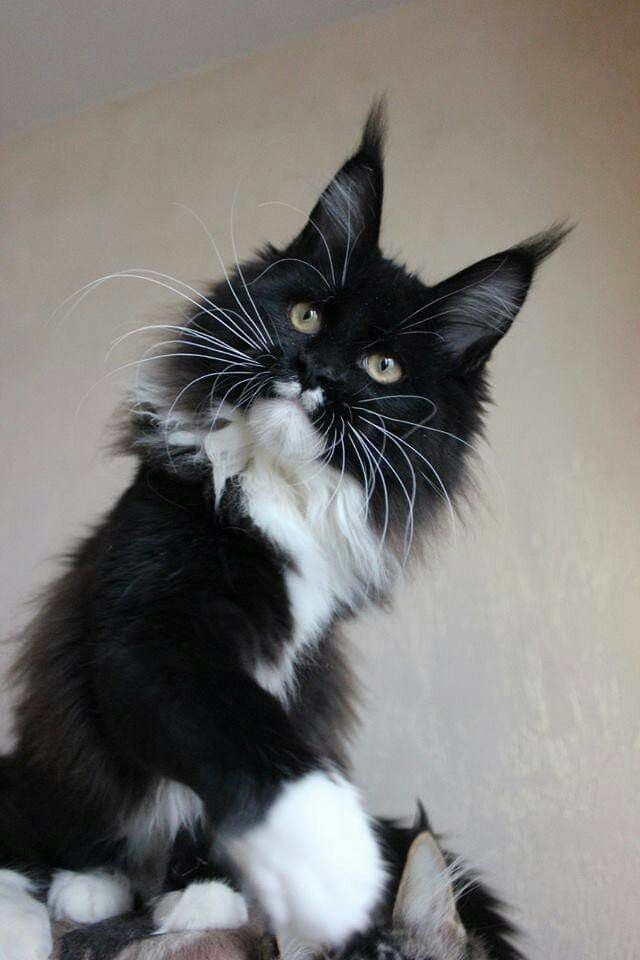 Tuxedo Black And White Maine Coon Cat : tuxedo, black, white, maine