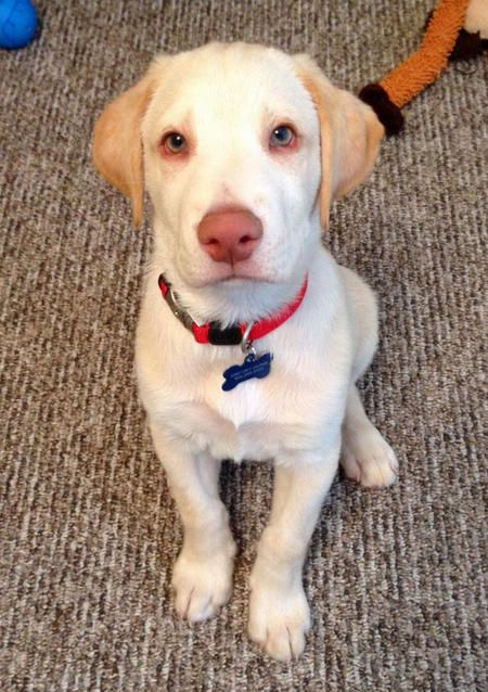 Little blue eyed yellow lab | labrador | Pinterest ...