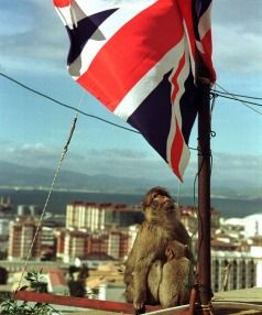 MONKEY TROUBLE: A Gibraltar monkey feeds its baby as it looks at the Union Jack flag on the top of the Rock of Gibraltar.