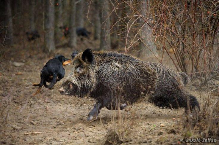 Охота на кабана в ленинградской области