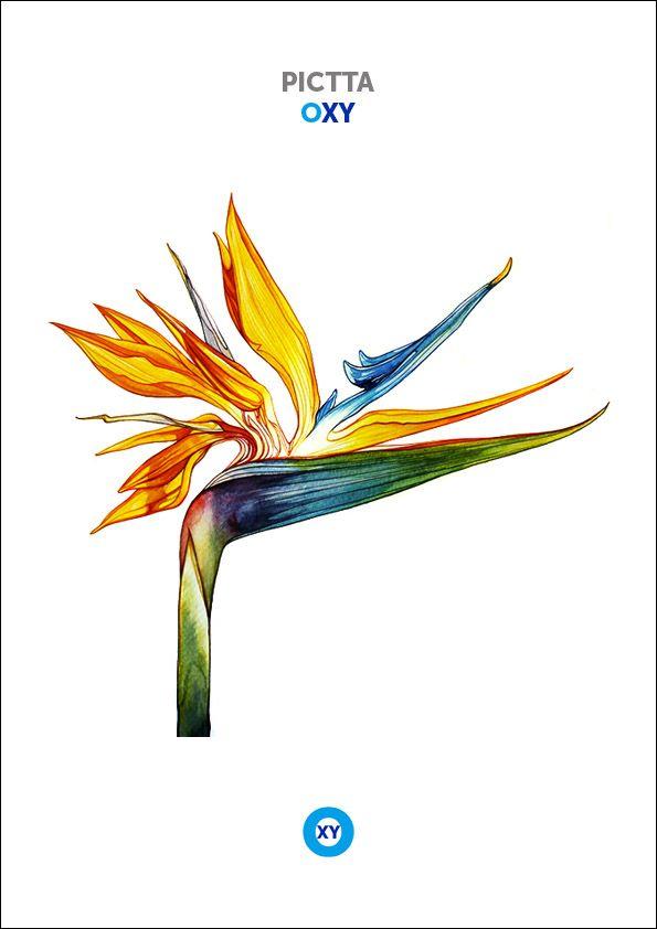PICTTA / Botanical Illustration / @ : oxy-illustrations@orange.fr