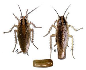 What does a German cockroach look like and where do you see it? Usually found in the kitchen area, this pest is small, 1/2 inch to 5/8 inch in length, and medium yellowish-brown. German roaches can be distinguished from other roaches by two dark parallel stripes on the anterior, dorsal portion of the thorax.