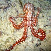 An octopus has three hearts.