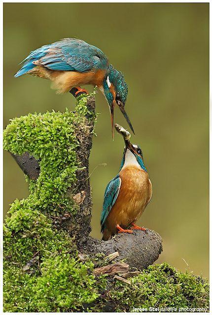 Kingfishers. by Jeoren Stel | Flickr - Fotosharing!