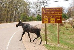 Spring Moose crossing highway in Algonquin Park