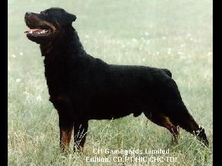 Silverhill Rottweilers Has Rottweiler Puppies For Sale In Kenly Nc On Akc Puppyfinde