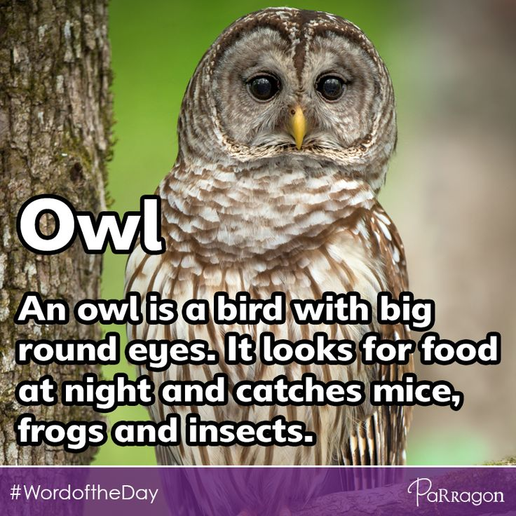 #WordoftheDay Owl. An owl is a bird with big round eyes. It looks for food at night and catches mice, frogs and insects.