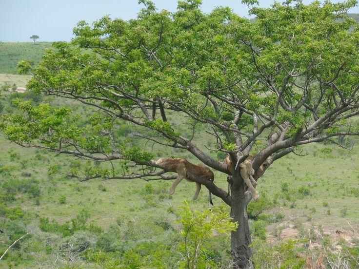 'Living the lazy life' Hluhluwe-iMfolozi Game Reserve