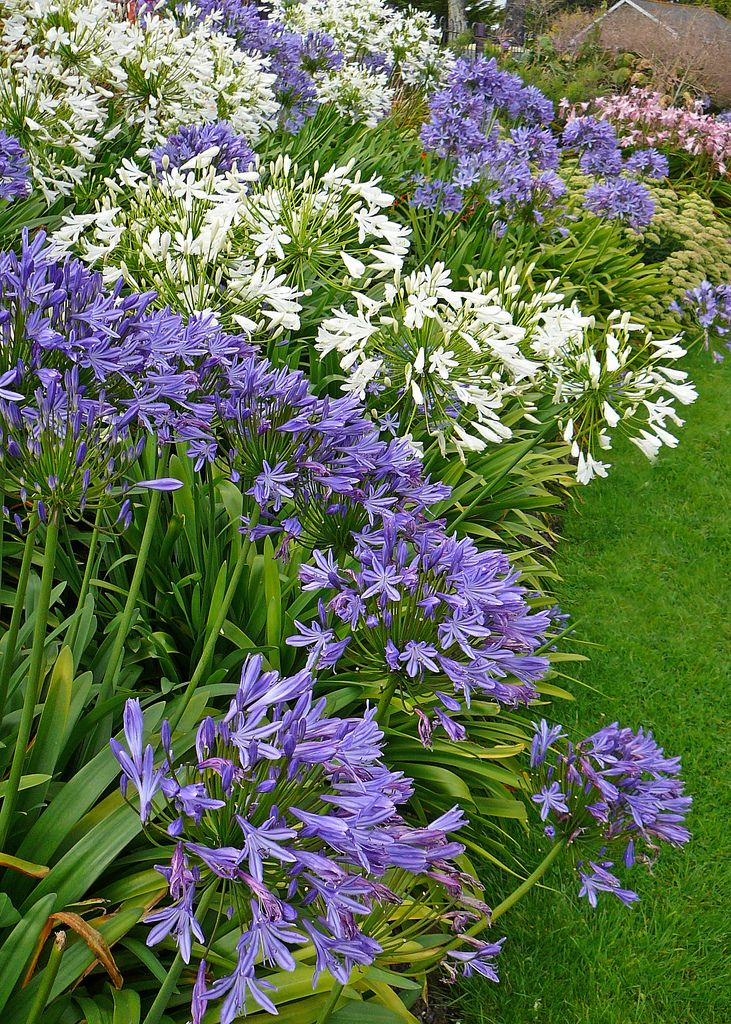 Agapanthes - Queen Mary Gardens, Falmouth