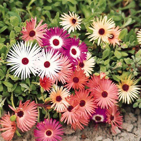 STOR DOROTEABLOMMA i gruppen Ettåriga blomsterväxter hos Impecta Fröhandel (282)
