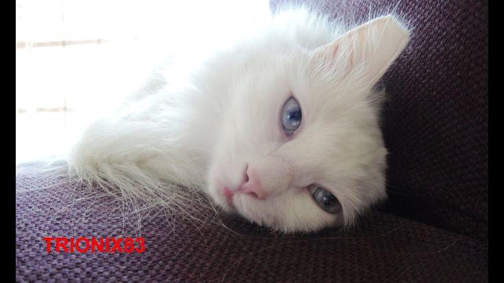 EL GATO MAS BONITO DEL MUNDO!!! Los gatos mas bonitos del mundo – Gatos ...