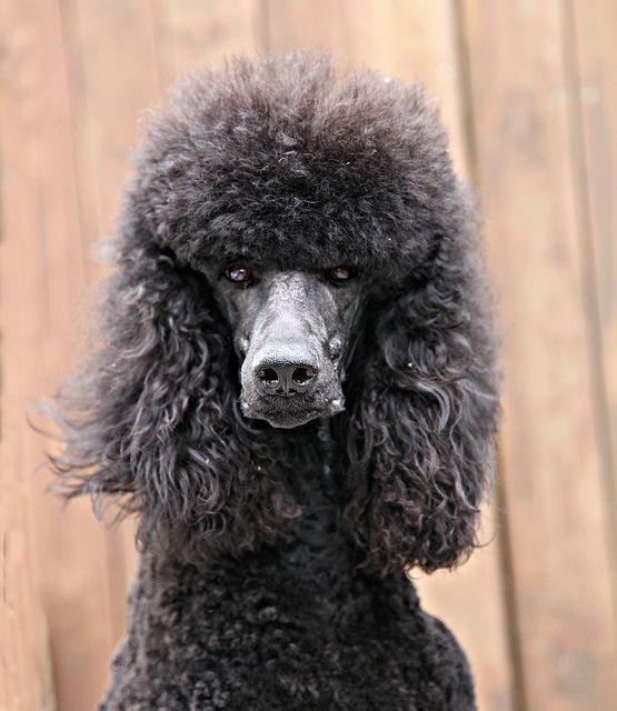 362 Best Images About Poodle Grooming On Pinterest