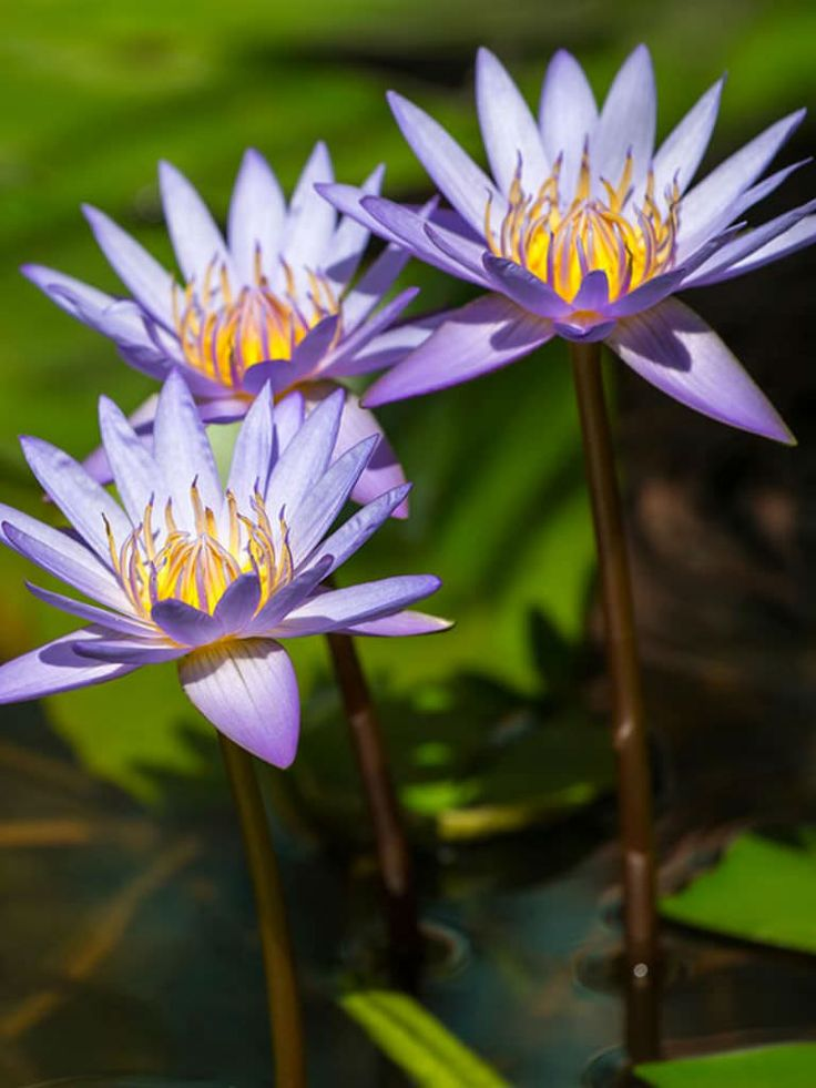 Nymphaea nouchali var. caerulea is a clump-forming perennial with thick, black, spongy, tuberous rhizomes... #nymphaea #plantopedia #FloweringPlant #flowers #FloweringPlants #plant #plants #flower #blooming #FlowersLover #FlowersLovers #FlowerGarden #WorldOfFlowers #WorldOfFloweringPlants #nature