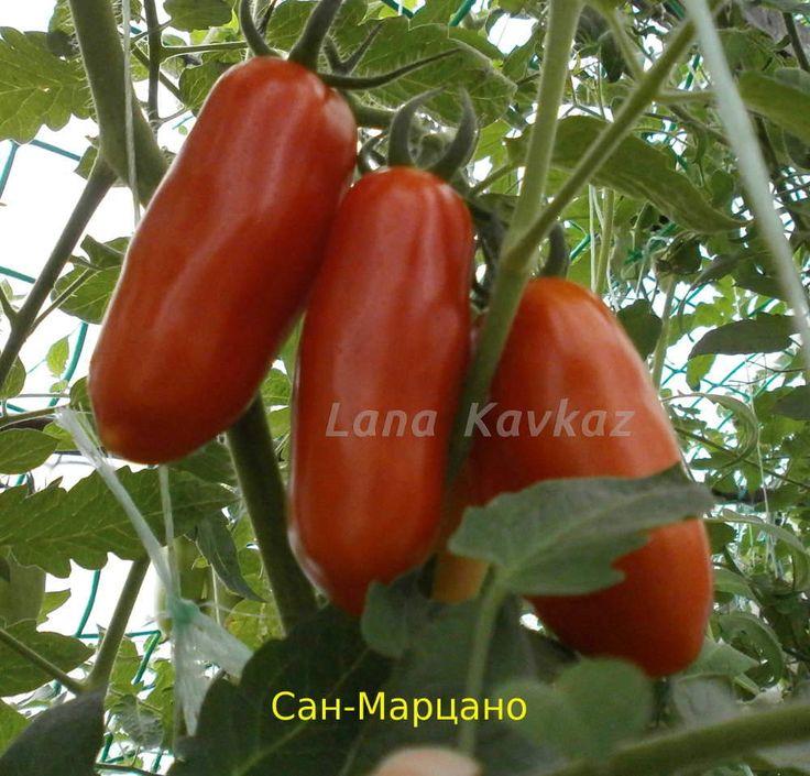 сорт томата Сан-марцано San Marzano