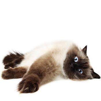 Himalájsko-perská kočka