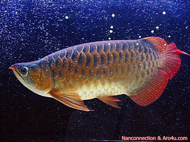 Ikan Seni