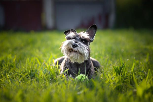 keds shoes mens 10 Gentlemanly Facts About the Miniature Schnauzer