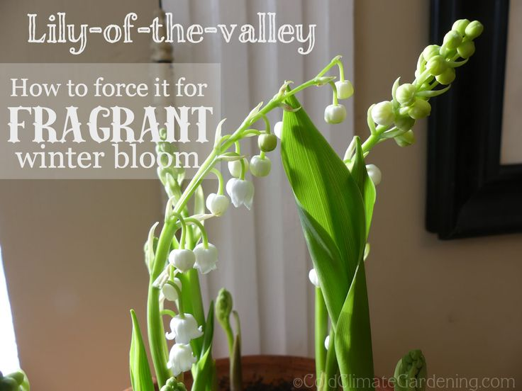 stylist lily house plant. How To Have Fragrant Lily Of The Valley In Middle Winter 19 best  Dieffenbachia images on Pinterest House plants Indoor