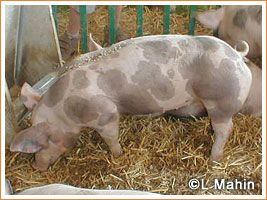 Pietrain pig  – originating in the village of Pietrain, Belgium. The breed became popular in its native country and was exported to other countries, especially Germany. The breed is of medium size and is white with black spots. Around the black spots there are characteristic rings of light pigmentation that carries white hair. This, coupled with the fact that the black hair is not as deeply pigmented as on black breeds, or the black spots on some spotted breeds, leaves them with less than…