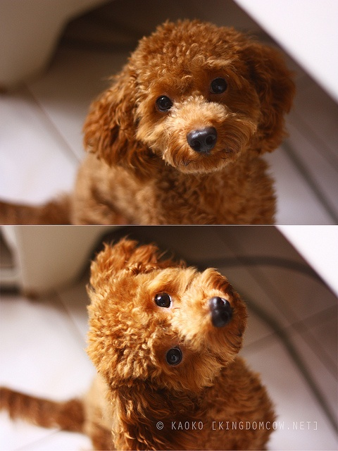 A red Maltipoo. (Photo from Coopertastic Antics by kaoko, via Flickr)