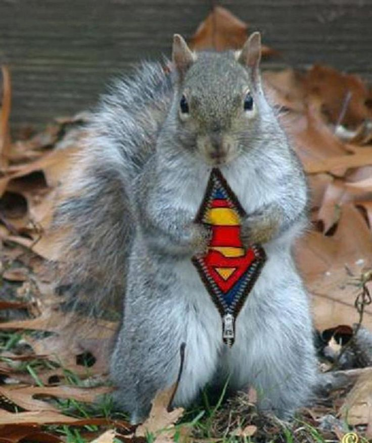 Best Squirrel Images On Pinterest Squirrels Photos And San Jose - Squirrel photographed in heroic pose becomes star of hilarious photoshop battle