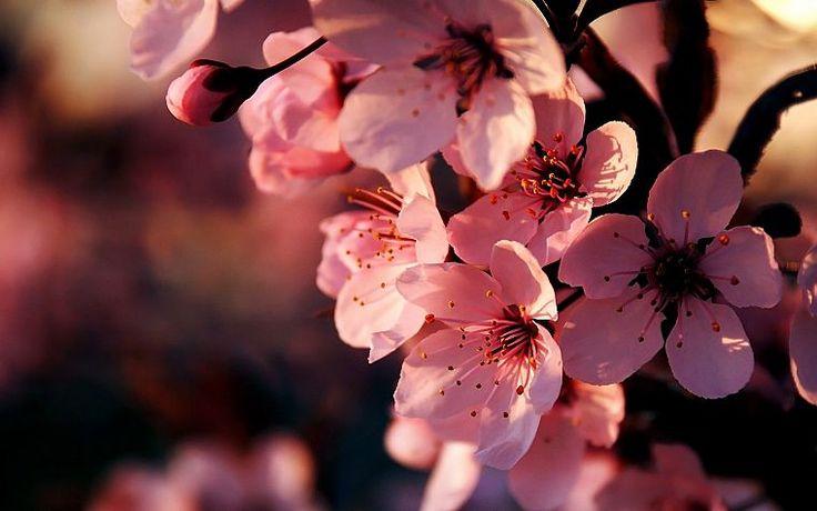 цветы, розовый, глубина резкости обои