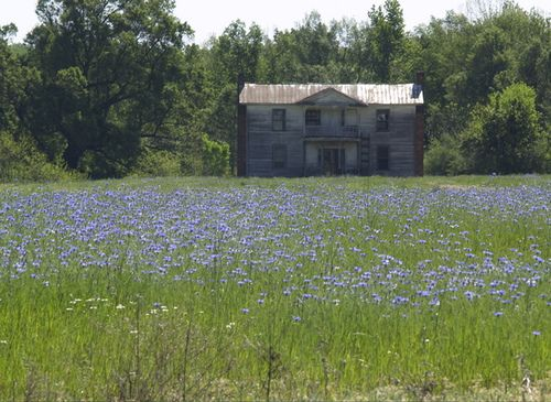 Abandoned House in a Field of Blue