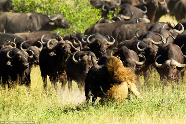 The buffalo then begin to gore the lion with their horns to make sure he can't escape as m...