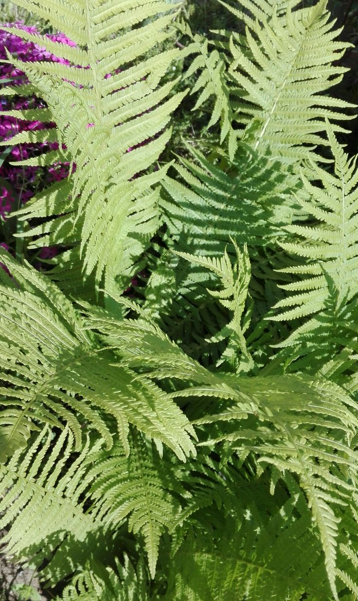 Kapradina|latinsky= Dryopteris filix-mas místo focení: naše zahrada