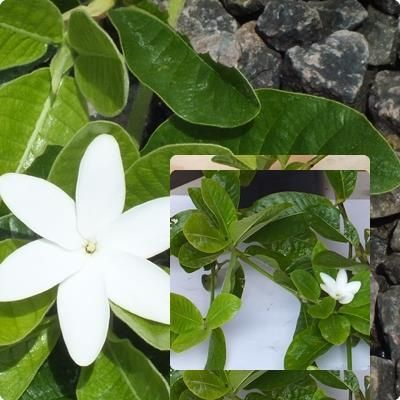 Gardenia psidioides Great gardenia ground cover. Bears tubular white flowers. Fast growing and very hardy. Spreading to a width of 2m. Full sun.