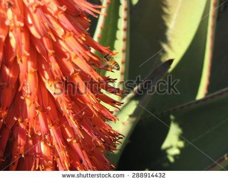 Aloe flowers.