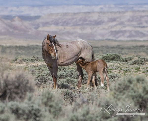 """Using poor science and bad numbers the BLM continues to ensure that the wild horses of Wyoming will have no families, freedom or future. Unedited, propaganda article posted below. (Herds do…"