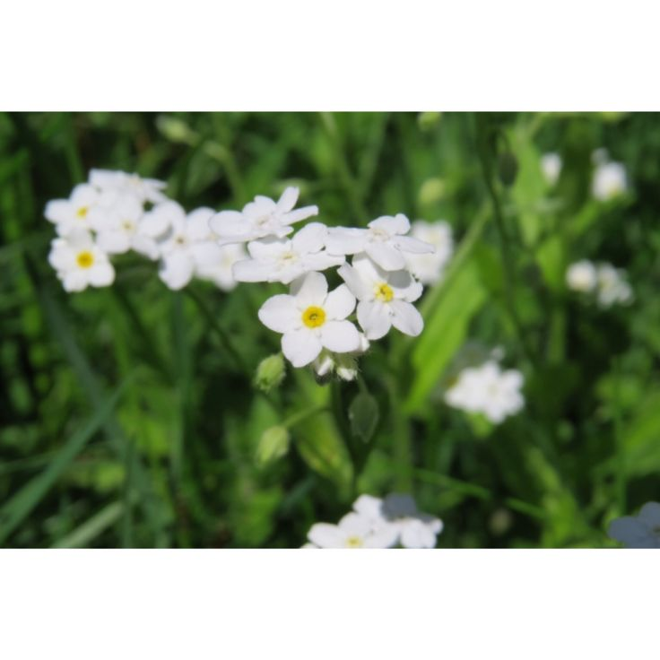 Forget-me-nots {white} || MJUPhotography