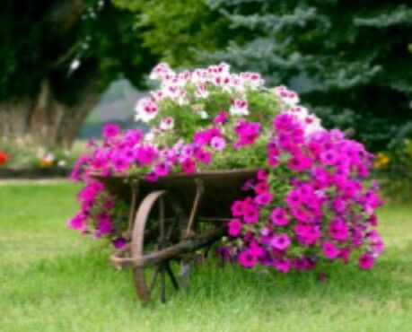Wheelbarrow planter - petunias