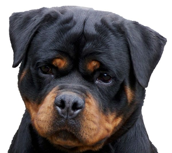 Rottweiler Puppies - Von Zennith German Rottweiler Breeder