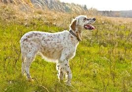 english setter: English Setters Sweetest, Dogs Years, Dogs Breeds, English Setters Reminder, English Llewellin Setters, Dogs Photos, Families Dogs, Setters Dogs, Brown English