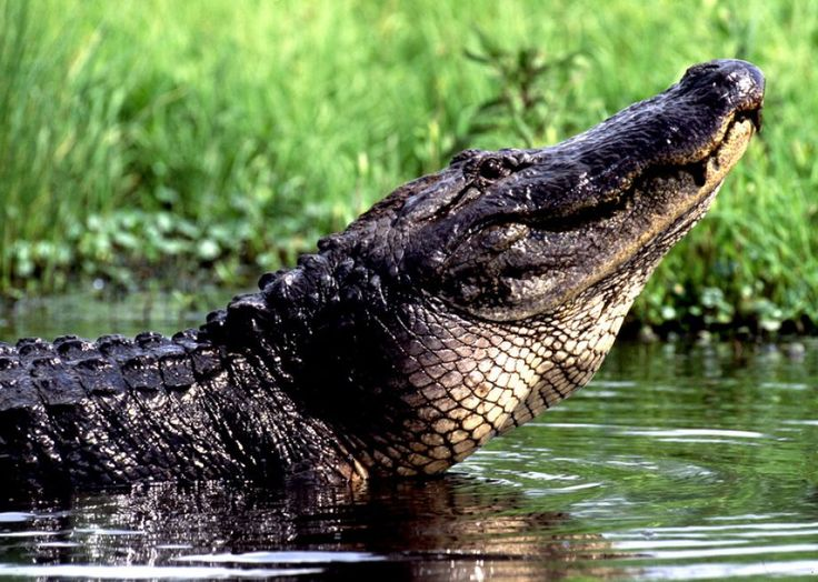 Officials Warn SC residents of Possible Alligators and ...