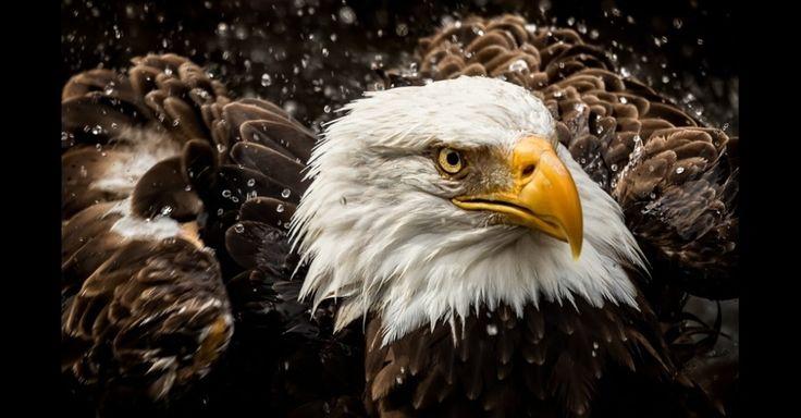 """Três águias-carecas no zoológico de Memphis, nos EUA. Durante uma vista ao aviário, Michael Pachis notou uma das aves perto de uma pequena lagoa. 'A águia mergulhou a cabeça na água e saiu em seguida, chacoalhando a água como um cachorro"""", disse. A imagem ganhou na categoria Coisas com Asas da competição anual de fotos da Academia de Ciências da Califórnia, nos EUA"""