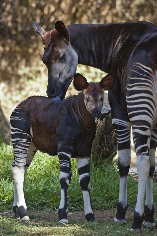 A sweet Okapi.  Even though they look a lot like Zebras they are actually related to the Giraffe.