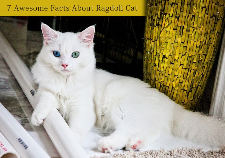 Like These Interesting Facts About Ragdoll Cat - 7 #Awesome Facts About #Ragdoll #Cat -