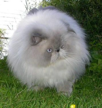 Persian Blue Cat Persian cat. blue point - #persiancats- See more stunning Persian Cat Breeds at Catsincare.com!