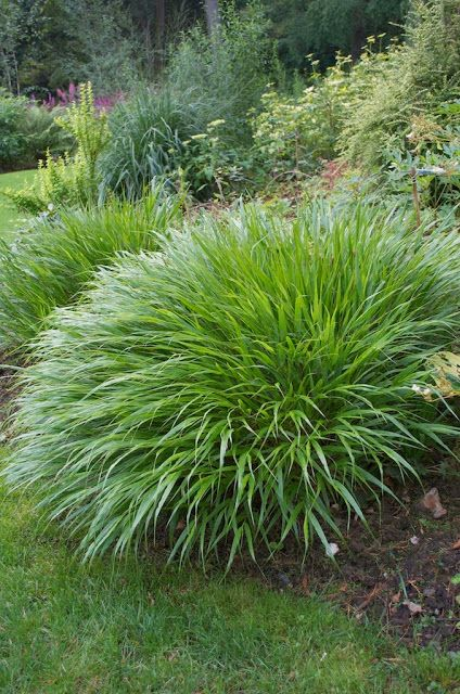 352 best images about ornamental grasses on pinterest for Short variegated grass