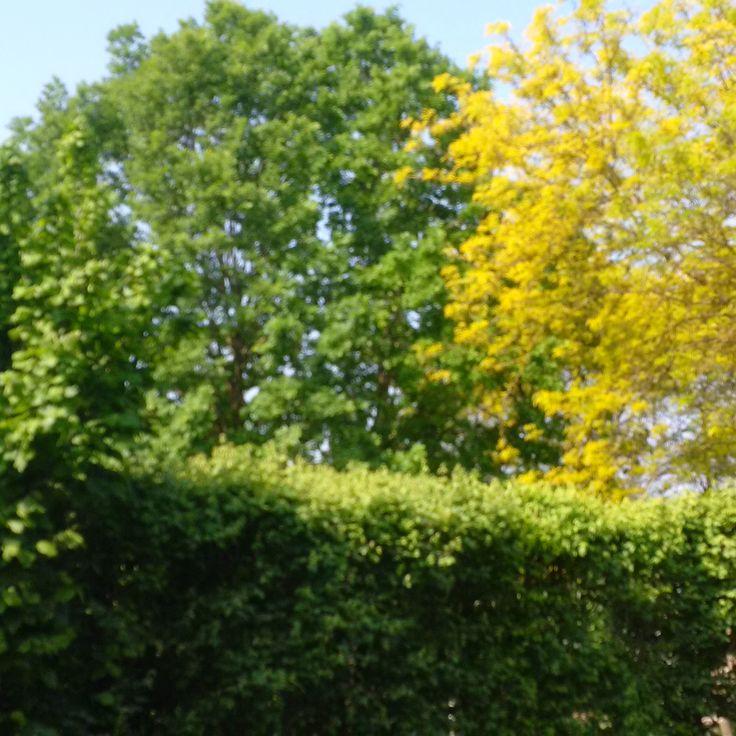 """Due piante ad alto fusto complementari che """"combattono"""" ad armi pari nel contendersi lo spazio; Una Quercus Robur ed una Gleditzia triac. """"sumbrust"""". E che belle foglie colorate!!"""