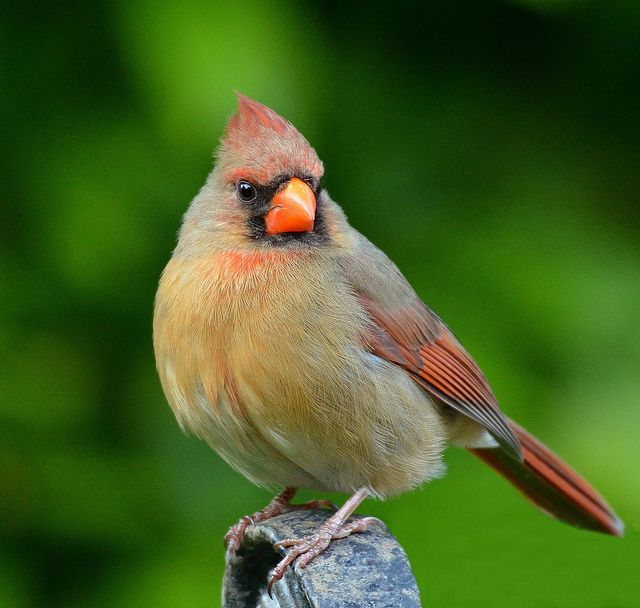 female cardinal pictures | Female Cardinal