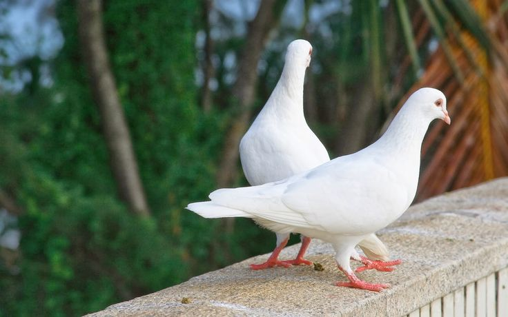 White king pigeons are larger than bantam chickens and make ideal table birds. Pigeon meat is often known as squab and is succulent, rich in dark meat, and delicate in texture. It's also very healthy as it's lean, full of proteins, vitamins and minerals, and is easily digestible. As with all birds their eggs are also edible, and a prized delicacy in many cultures.