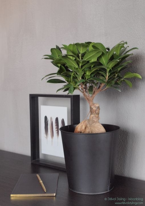 17 best ideas about ficus ginseng on pinterest plante. Black Bedroom Furniture Sets. Home Design Ideas